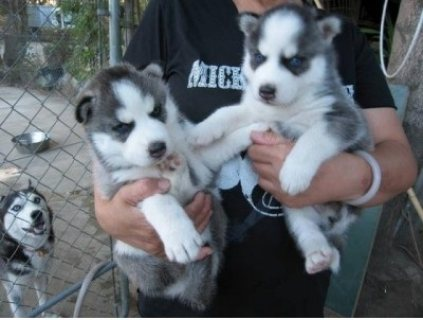 صور Beautiful AKC certified Siberian husky up for sale.  1