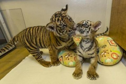 Tigers Cubs  For Sale