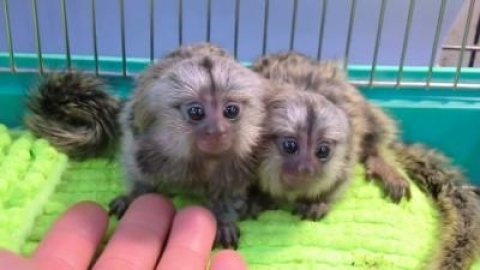Playful Babies Marmoset  Monkeys For sale