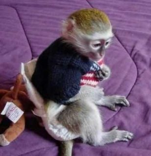 Cute male and female Capuchin Monkeys For sale
