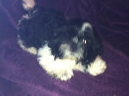 Gorgeous B/w Shih Tzu Boy Puppies for free adptopion