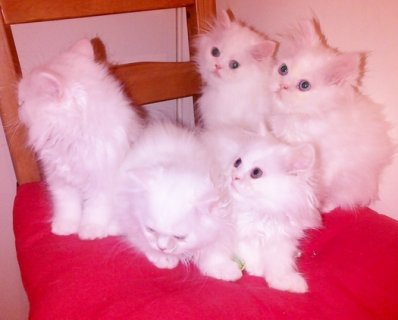 صور Snow-White Persian Kittens 1