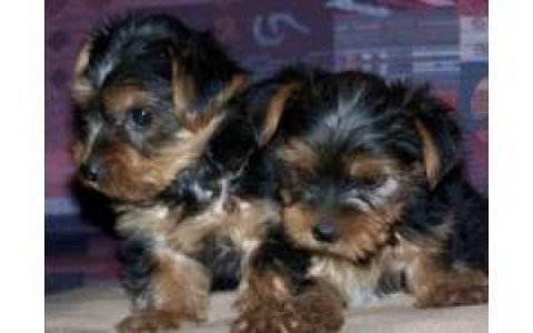 lovely male and female yorkie for adoption