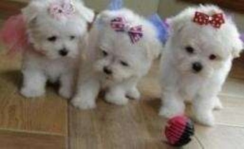صور Lovely Teacup Maltese Puppy Available 1