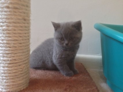 .......Lovely outgoing British shorthair self blue male.....
