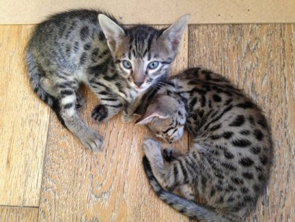 ..............Savanna Kittens for adoption........