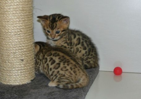 Bengal Kitten as New year Present