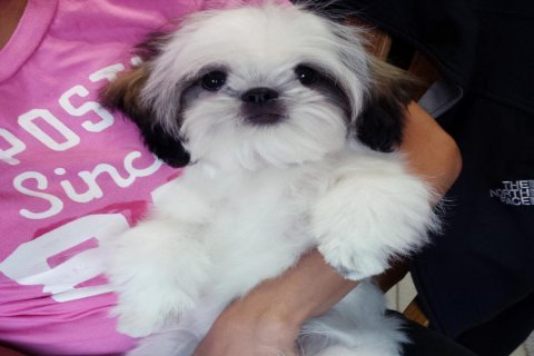.....Shih Tzu puppies for adoption.......