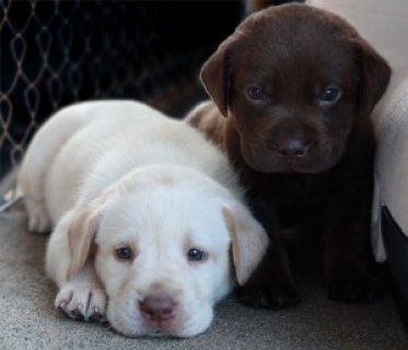 صور Labrador Retreiver Puppies 1