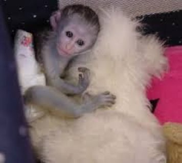 صور Gorgeous Capuchin Monkey for Sale 1