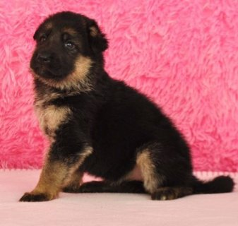 صور Cute Male and Female German Shepherd Puppies 1