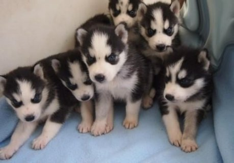 Quality Raised Blue Eye Siberian Husky puppies