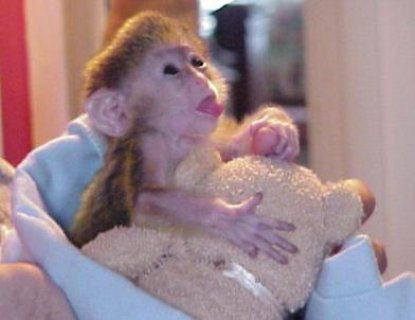 3 months Old Cappuchin Monkey for Sale   Fully diaper trained, f