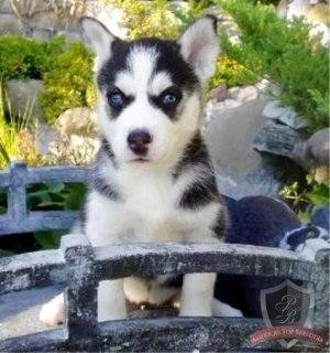 صور Blue eyes Siberian husky puppies for sale	 1