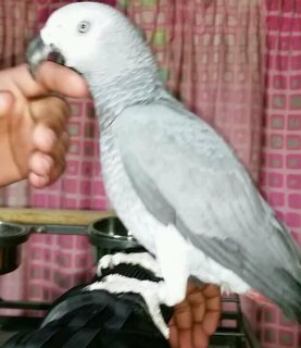 صور Adorable African Grey parrots for Adoption  1