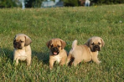 صور Potty trained Puggle Puppies For Adoption 1
