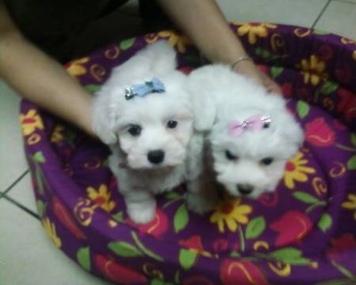 Gorgeous Pure Breed Teacup Maltese puppies