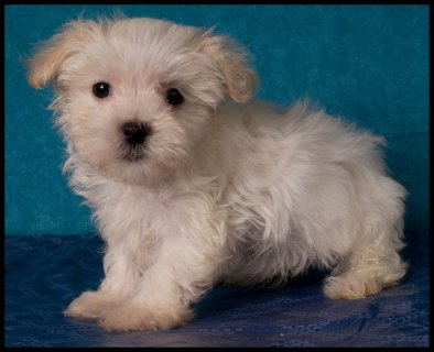 صور maltipoo, bichon poo, bich poo puppies for sale 1