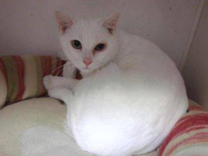 Domestic Short Hair  White Yoshi kittens