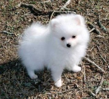 wonderful Pomeranian Pupps