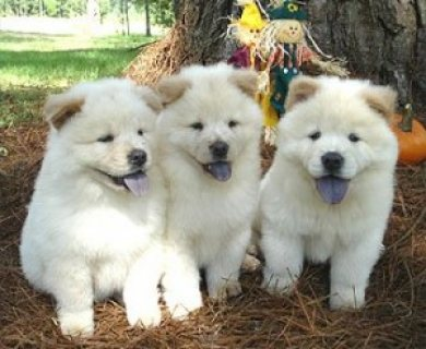صور Well trained chow chow puppies for adoption 1