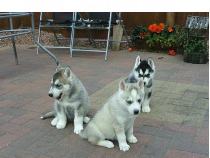 صور Beautiful Lovely Siberian husky puppies. 1