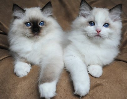 صورة 1 Lovely Ragdoll Kittens for Adoption