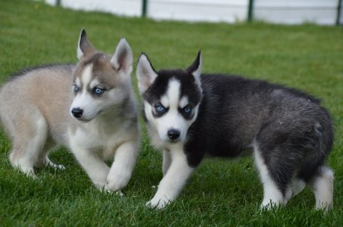صور Akc registered husky puppies for adoption 1
