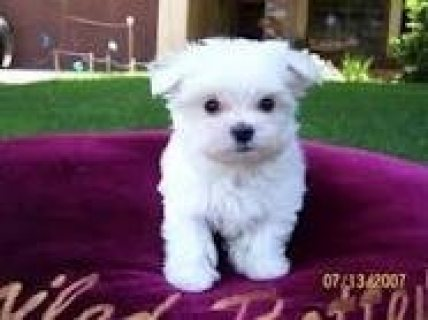 Purbred T-Cup Maltese puppies T-Cup Maltese