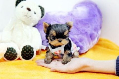 Two Gorgeous Yorkie Puppies