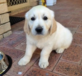 Very Affectionate female golden retriever puppy for adoption