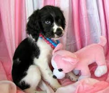 ♥Free English Spaniel to a Good Home ♥