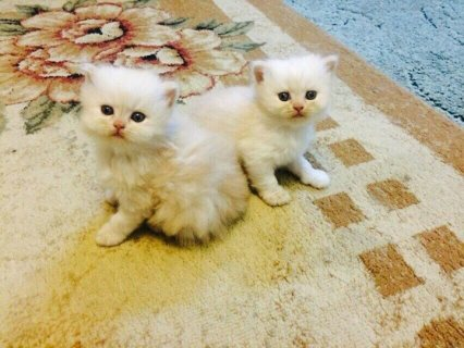 Beautiful Pure White  Persian kittens