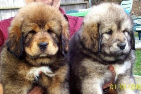 صور Tibetan mastiff Puppies for adoption 1