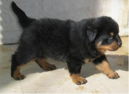 صور Adorable Male And Female well trained Rottweiler puppies  1