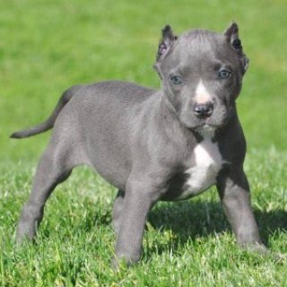 Adorable bluenose American pitbull terrier puppies for adoptio
