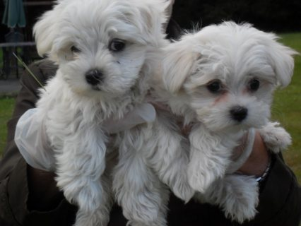 صور Sweet & Playful Maltese Puppies For Adoption 1