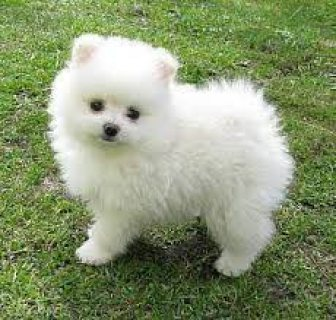 صور Priceless White Pomeranian Puppy For Adoption 1