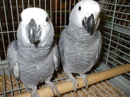 Friendly African Grey Parrots Ready