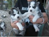 Beautiful AKC certified Siberian husky up for sale.