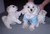 cut and lovely Maltese