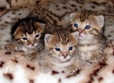 Exotic African Serval Kitten For Sale