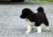 Healthy Akita Puppies