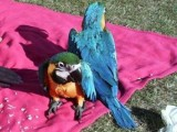 Male and Female Blue And Gold Macaw Parrots
