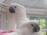 Breeding Pair of cockatoo Parrots 9 months old