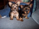 Free Male and Female yorkie puppies for adoption