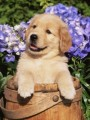 cute golden retriver puppies for adoption