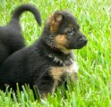 European-line German Shepherd puppies-AKC registered