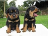 Adorable Rottweiler Puppies for adoption