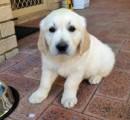 Very Affectionate female golden retriever puppy for adoption